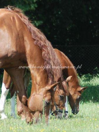 2011.06.19 - Padokowe zapoznanie Diverso i Sarabi